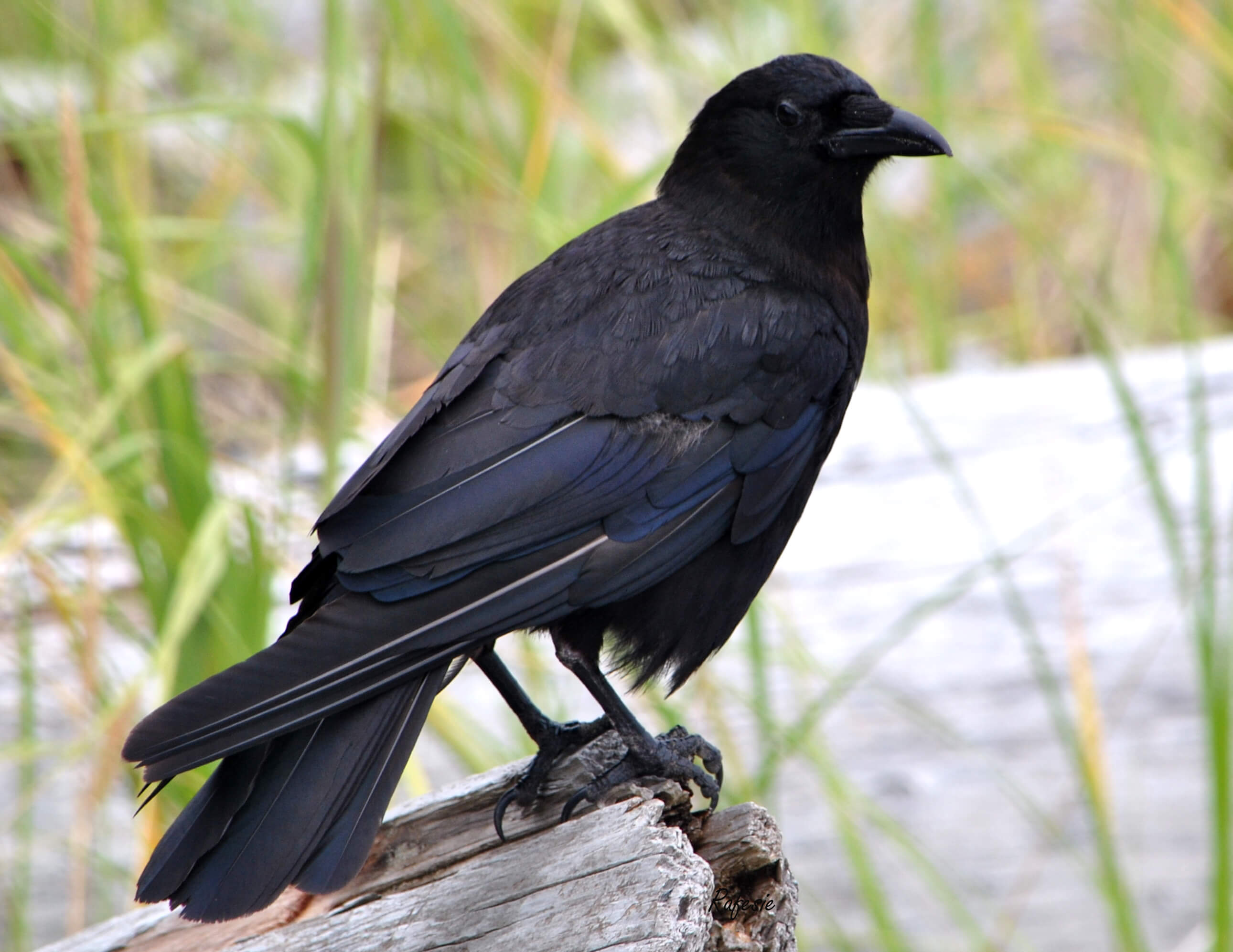 Northwestern_crow_0