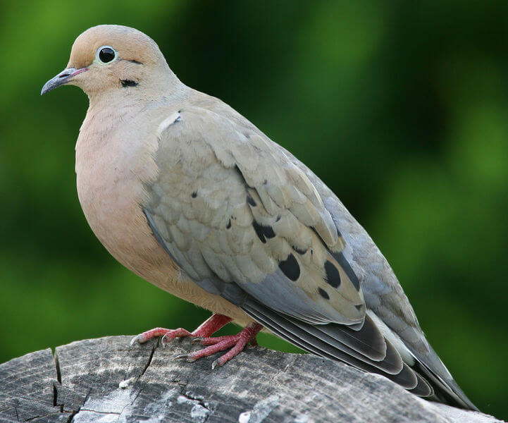 mourning-dove3